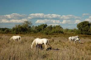 Picture of white horses in Camargue