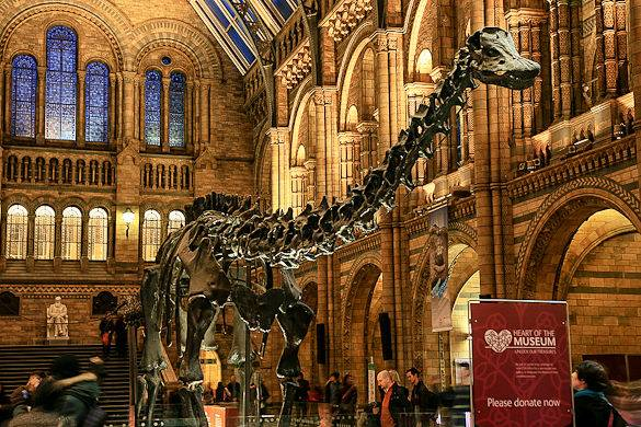 Picture of a dinosaur skeleton on display in the London Natural History Museum