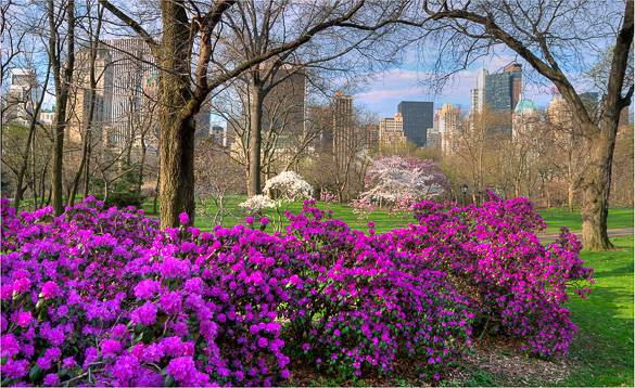 Picture of bushes and trees in blossom in Central Park