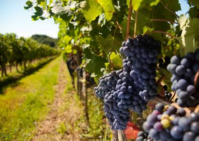 The labors and joys of grape harvest in the South of France