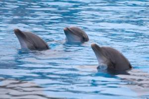 Dolphins at Marineland in the South of France