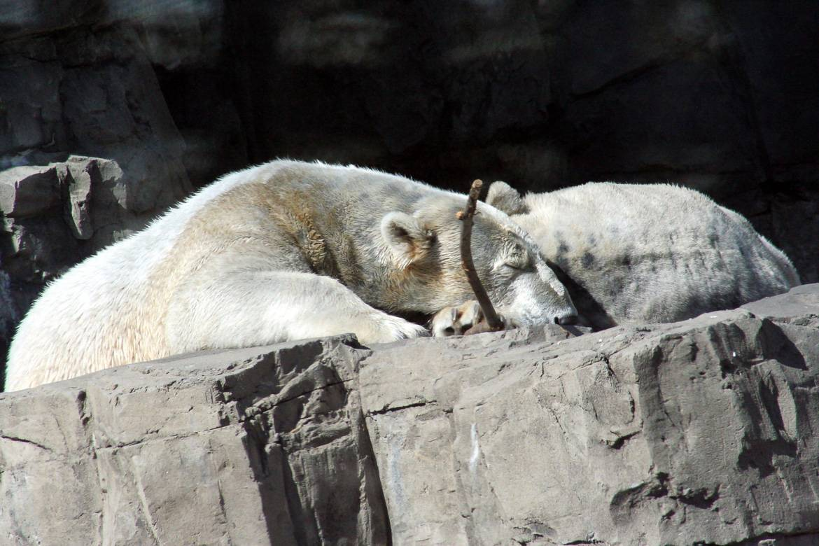 Image of two polar bears in New York City's the Bronx Zoo