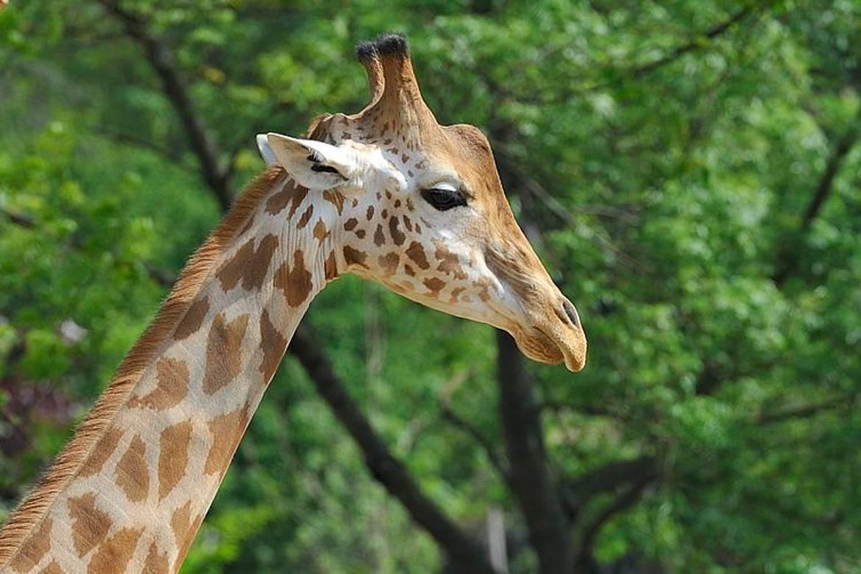 Image of Giraffe in Zoo.