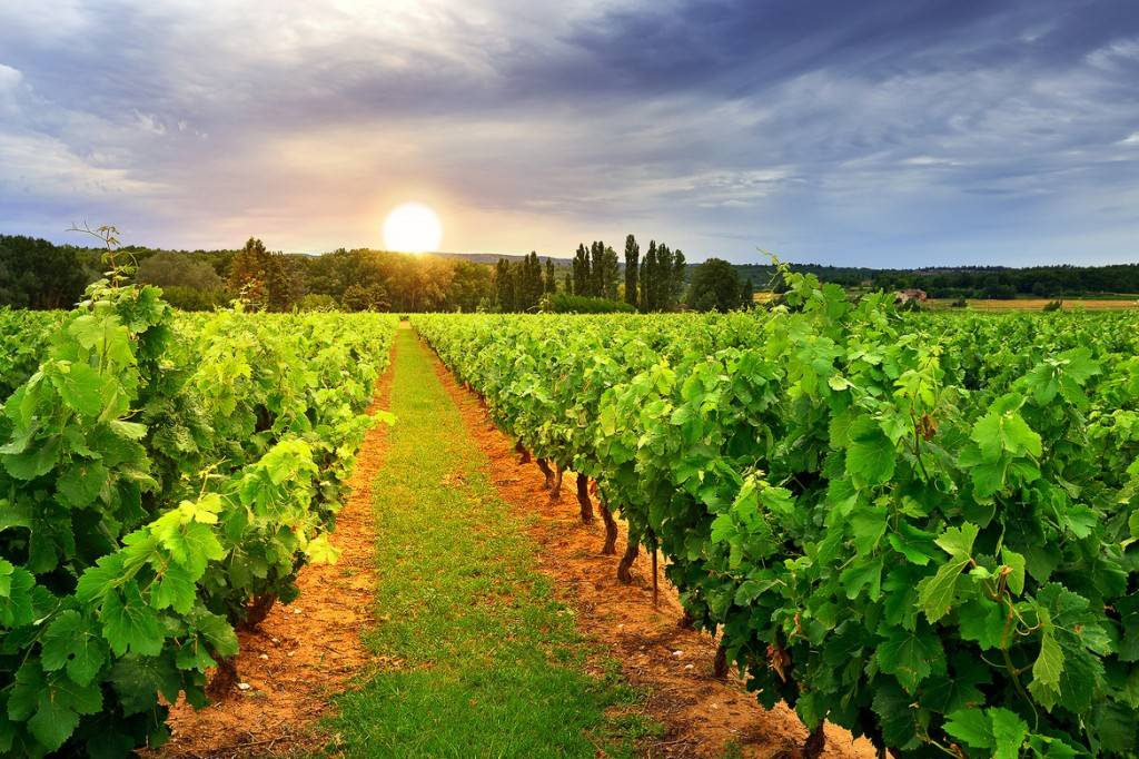 Image of the sun setting over a hill behind a green vineyard