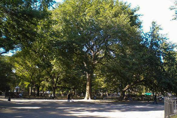 Image of large elm tree in Tompkins Square Park in the East Village NYC