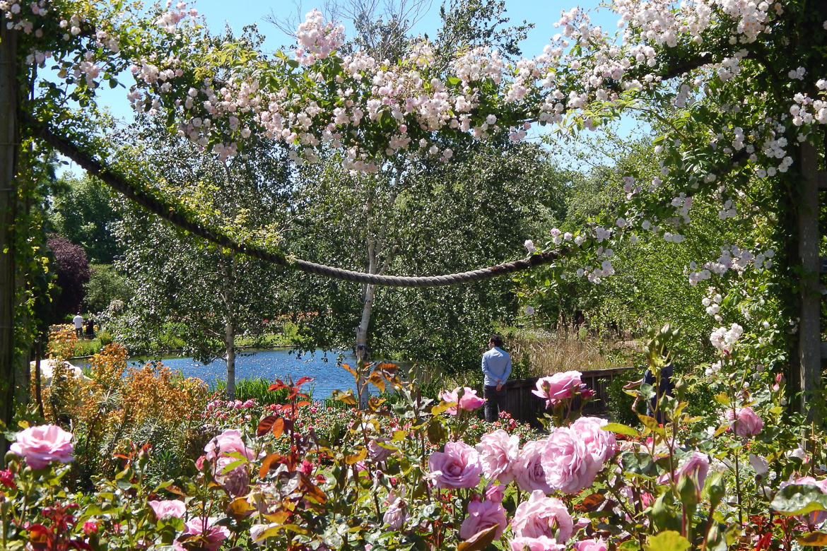 Image of roses and a pond in Queen Mary's Garden in Regent's Park