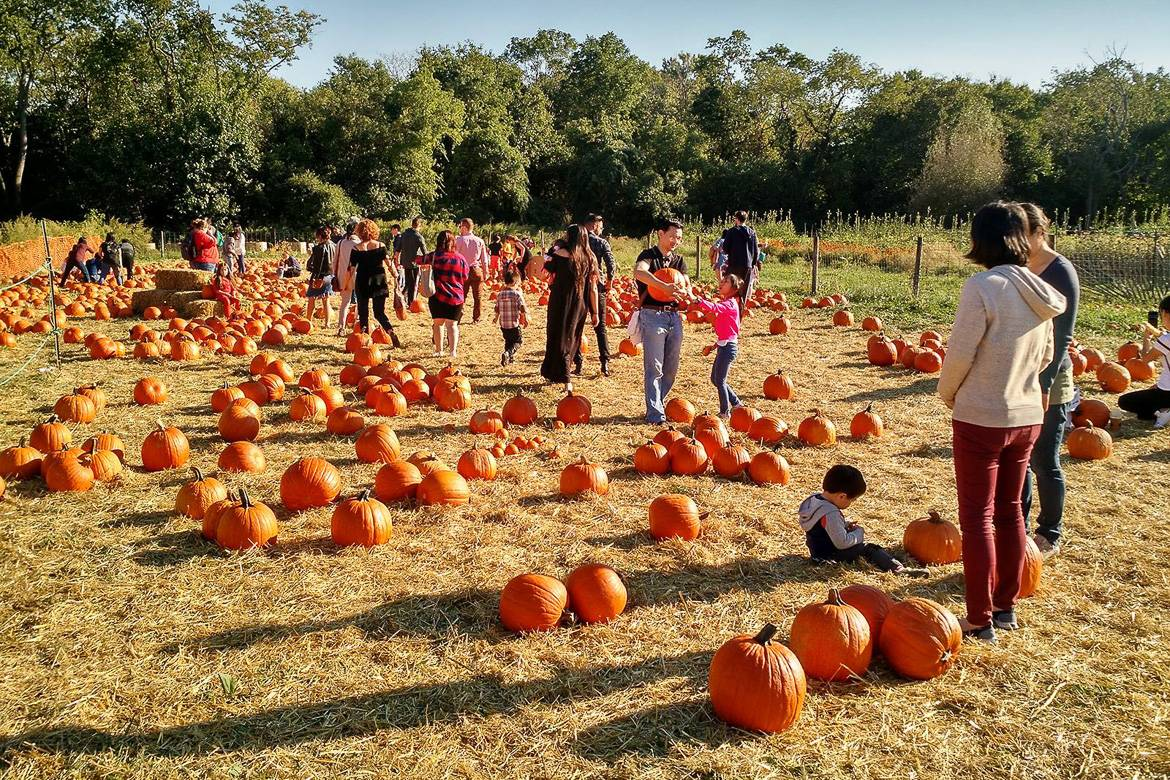 Image of children and families picking pumpkins at the Queens County Farm Museum pumpkin patch.