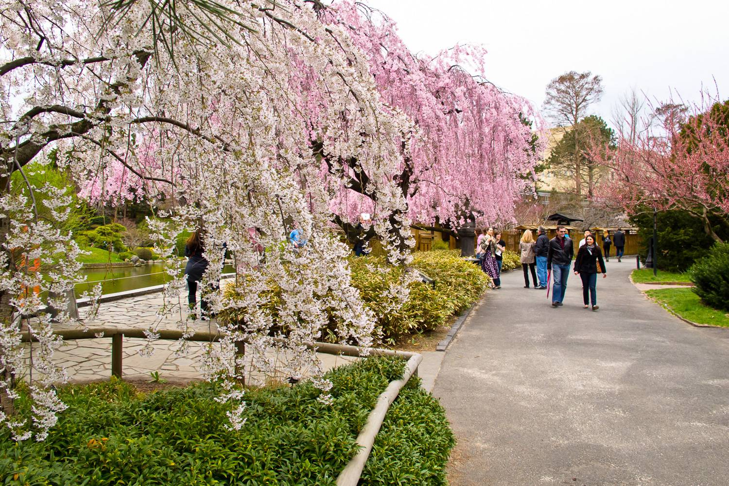 Image of blooming cherry blossom trees and people walking along the paths in the Brooklyn Botanic Garden.