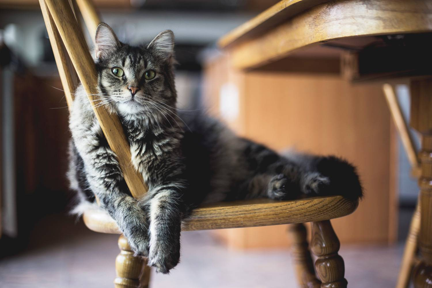 Image of a furry gray and black cat lounging on a chair (Image credit: Unsplash)