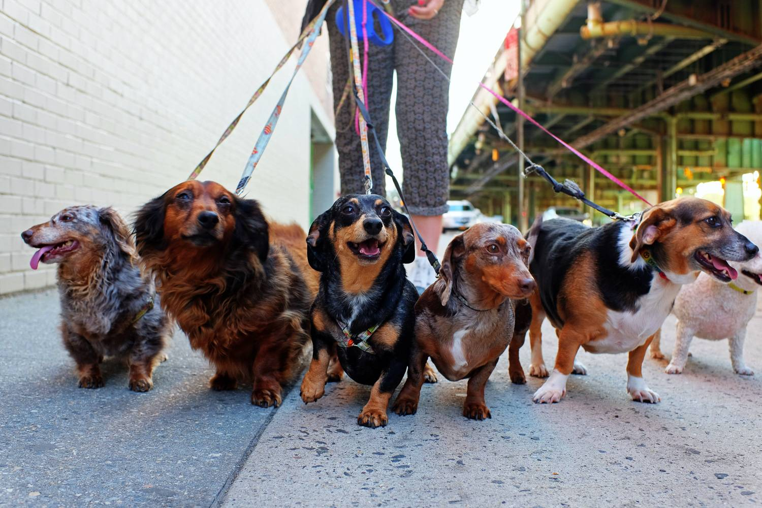 Image of dog walker with six dogs walking under elevated subway tracks