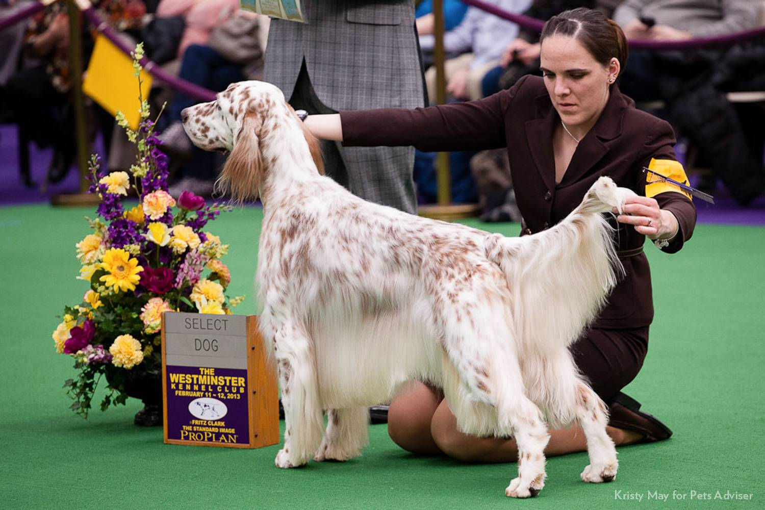 Image of a Pointer dog posing for a judge at Westminster Kennel Club Dog Show (Image credit: www.petful.com)