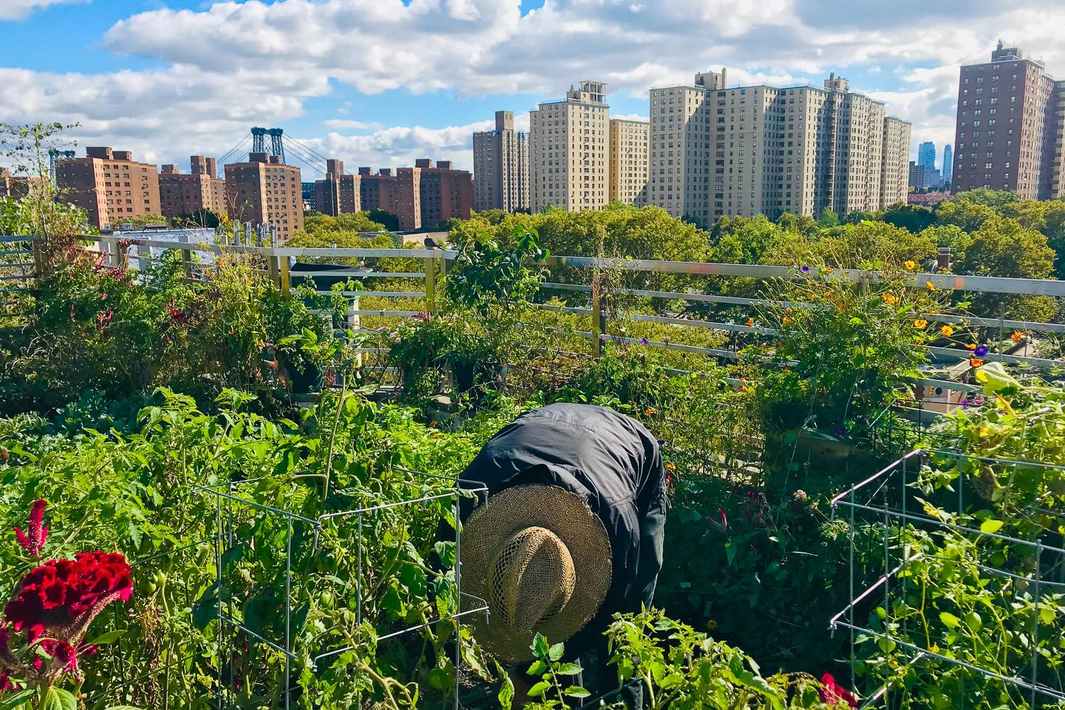 Image of a person wearing a straw hat bending over to tend to vegetables planted in a roof garden with NYC buildings in the background