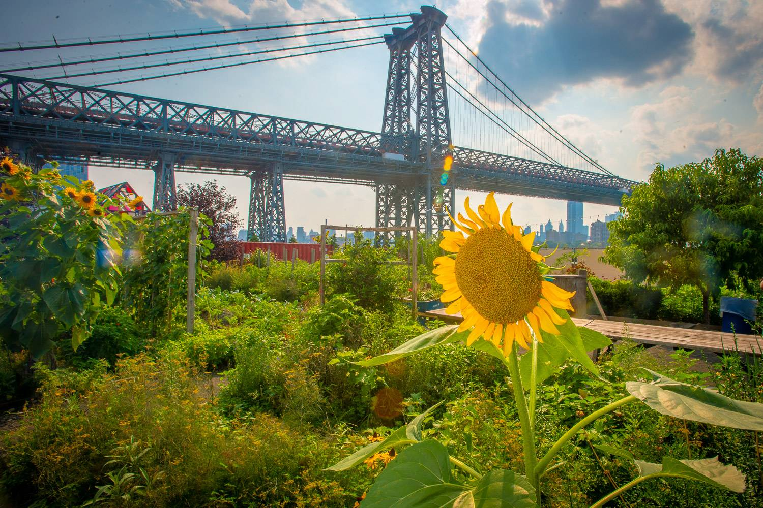 Image of a sunflower in an urban garden with other plants and vegetables, nyc skyline and bridge in the background