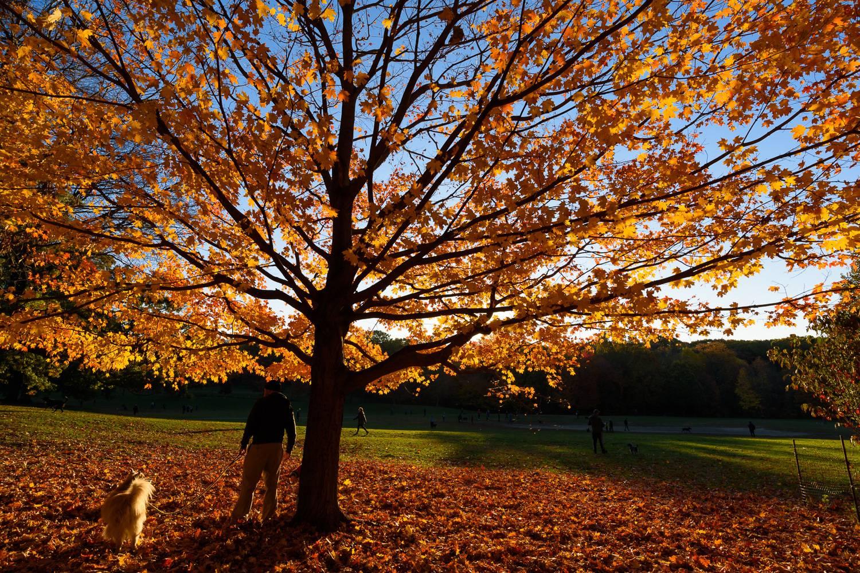 Foto eines Baumes mit orangenem Herbstlaub im November im Prospect Park.