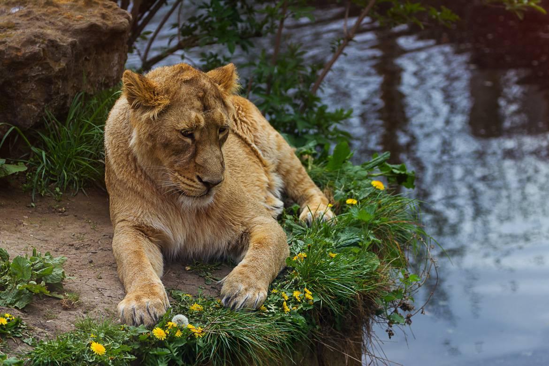 Bild einer Löwin im London Zoo.