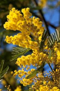 Photo : Fleur de Mimosa sur la Côte d'Azur