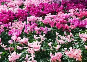 Photo de fleurs à Menton, France