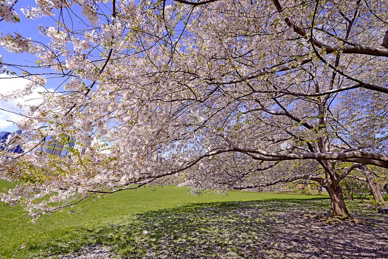 Brooklyn en fleur : son jardin botanique présente les plus beaux cerisiers en fleur de New York.