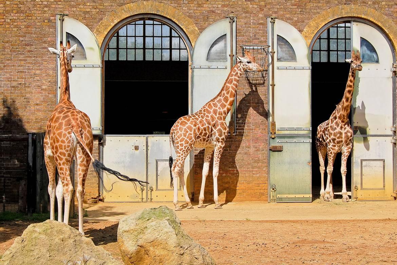 Photo de giraphes