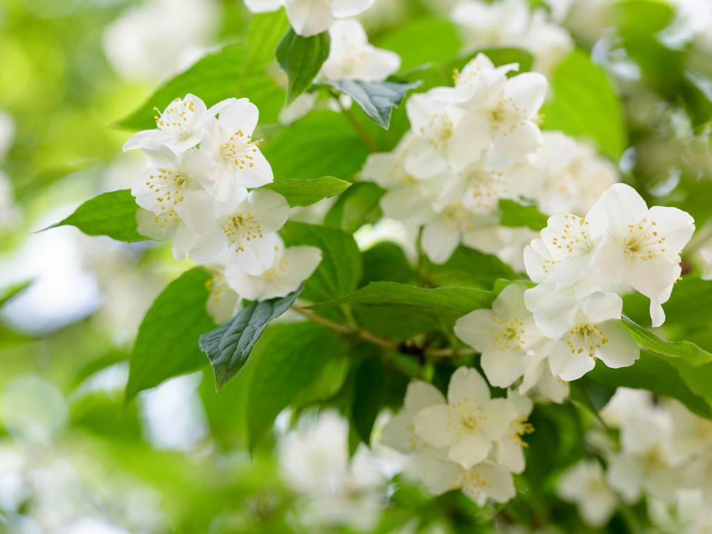 Photo d'une fleur de jasmin