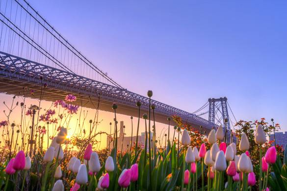 Photo de tulipes avec le pont de Williamsburg de New York en arrière-plan.