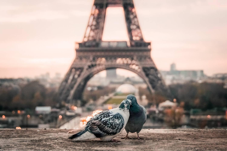 Image de deux pigeons en tête à tête avec la Tour Eiffel en arrière-plan (Crédit Photo : Unsplash)