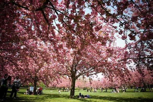 Immagine di un albero di ciliegio in fiore in un parco