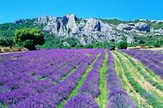 Los campos de lavanda del sur de Francia