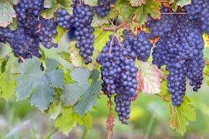 Foto de uvas Concord en el sur de francia