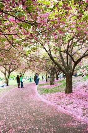 Cerezos en flor en el Jardín Botánico de Brooklyn