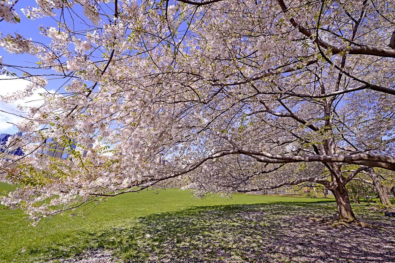 Fotografía del Festival de los Cerezos en Flor en el Jardín Botánico de Brooklyn
