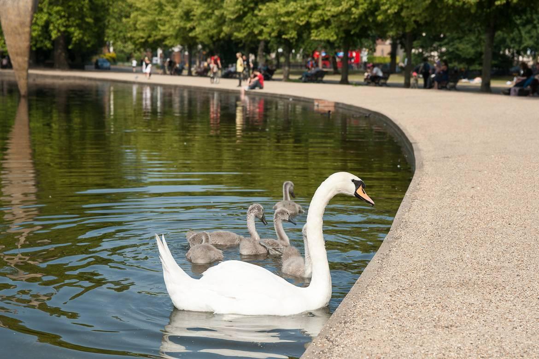 Imagen de un cisne en el Parque Victoria