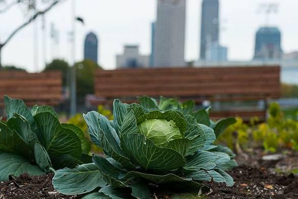 Fotografía de una col cultivada en una huerta con vistas del horizonte de Nueva York de fondo