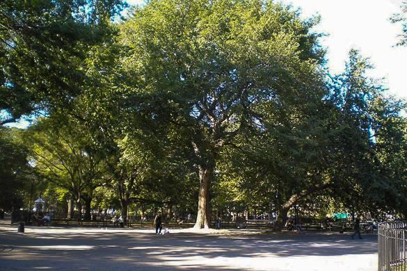 Fotografía de un gran olmo de Tompkins Square Park, en East Village