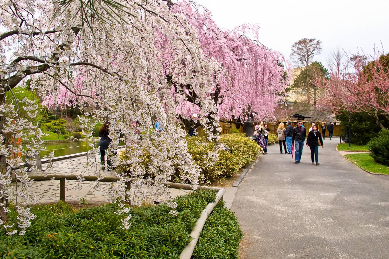 Imagen de árboles de cerezo en flor y de personas que caminan por los senderos del Jardín Botánico de Brooklyn.