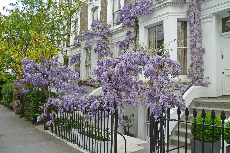Imagen de una glicina morada florecida en frente de una casa de Kensington en Londres.